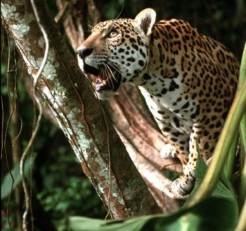 Jaguar: safari destination for people...
