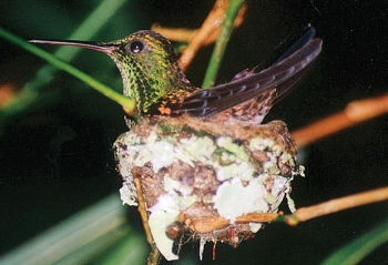 Colours like gemstones: nesting hummingbird