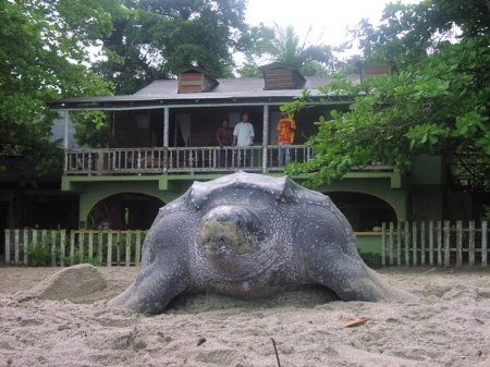 Leatherback turtle laying eggs right in front of the lodge